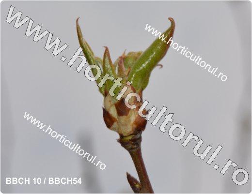 Fenofazele Parului_BBCH10-54