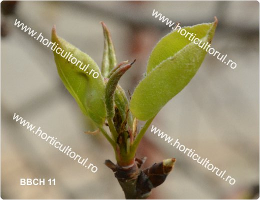 Fenofazele Parului_BBCH11