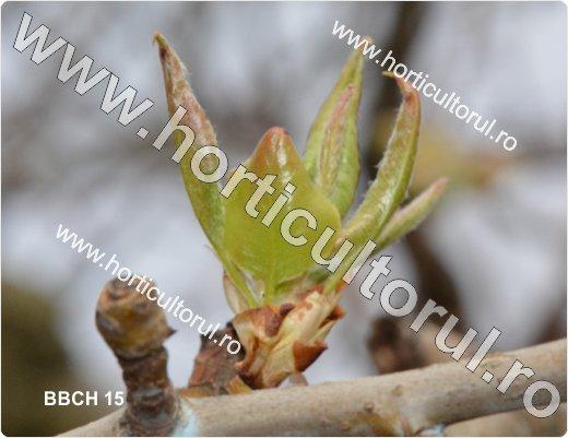 Fenofazele Parului_BBCH15