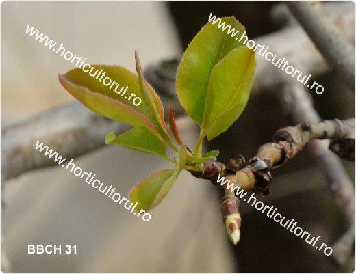 Fenofazele Parului_BBCH31