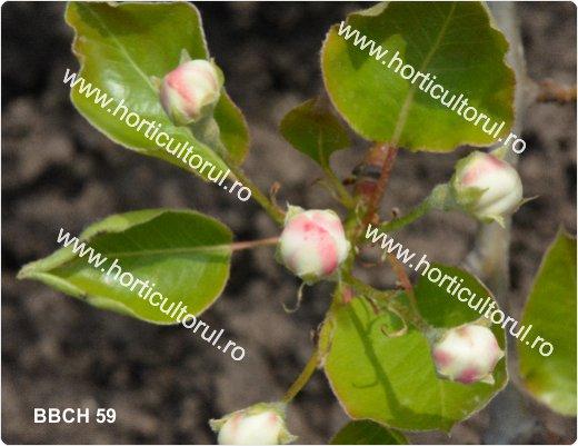Fenofazele Parului_BBCH59