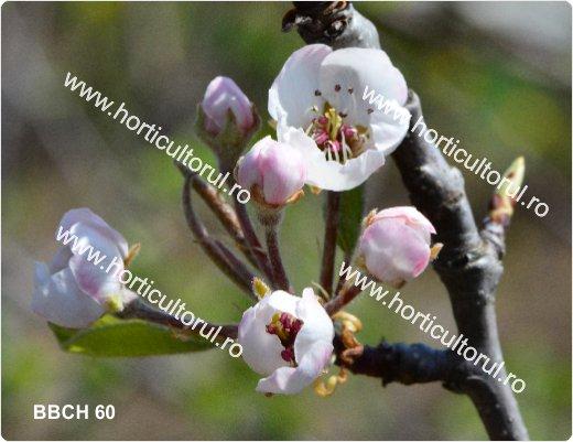 Fenofazele Parului_BBCH60