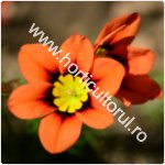 Floare Arlechin-Sparaxis tricolor-21
