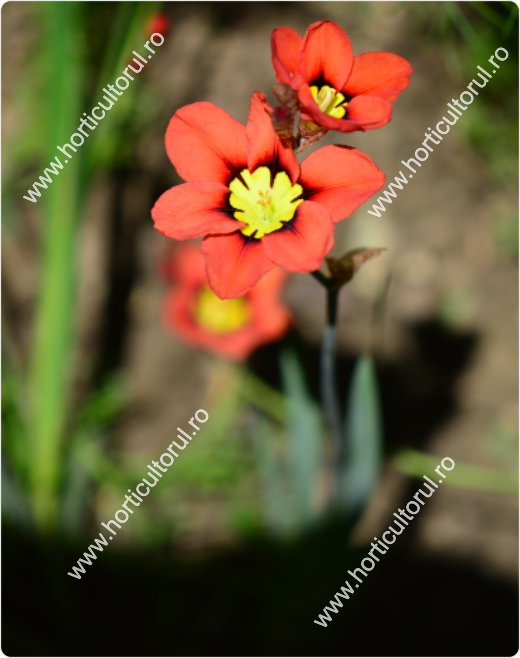 Floarea Arlechin (Sparaxis tricolor)