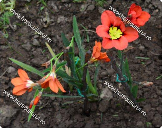 sparaxis floarea arlechin sparaxis tricolor ingrijire inmultire