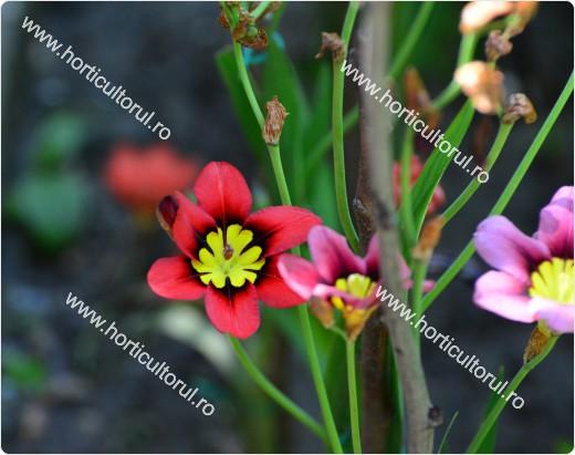 Fig. 6 Floarea Arlechin (Sparaxis tricolor)
