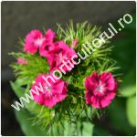 Garoafa turceasca-Dianthus barbatus-1