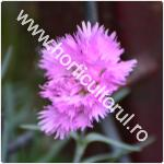 Garofita roz-Dianthus plumarius-1