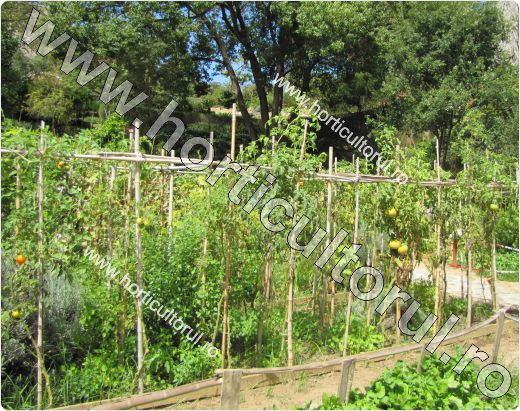 Palisarea tomatelor-rosiilor in gradina-camp-2