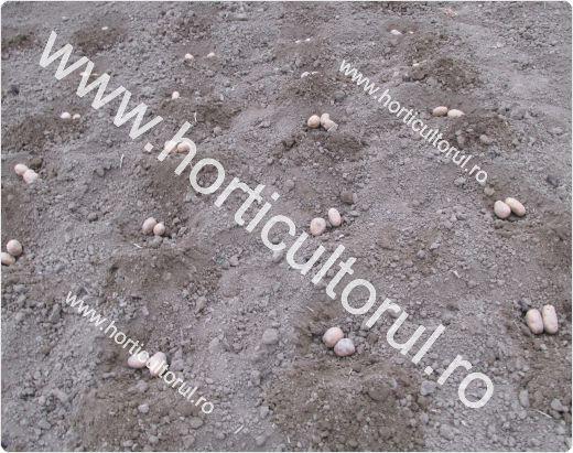 Plantarea cartofului in gradina la cuiburi-2