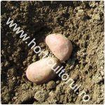 Plantarea cartofului in gradina la cuiburi_1
