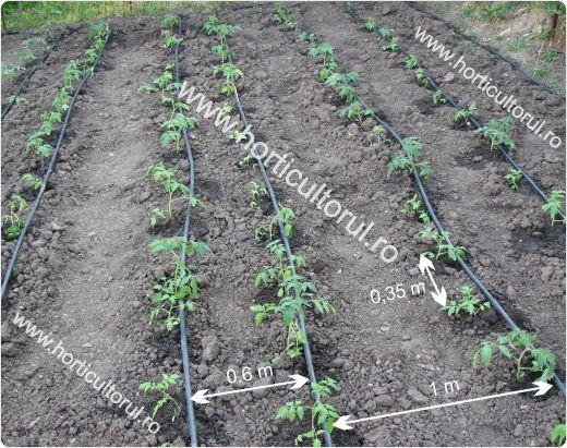 Plantarea rosiilor in gradina-camp-2