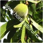 Rarirea fructelor la Piersic & Nectarin-1