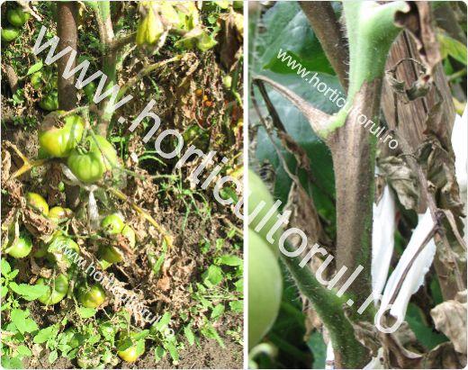 Tratamente -Mana la Tomate- Gradina -Camp-2