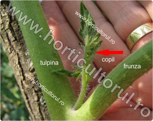 Copilirea Tomatelor-Rosiilor in Gradina & Solar