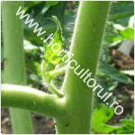 copilitul rosiilor-tomatelor in solar-gradina_1