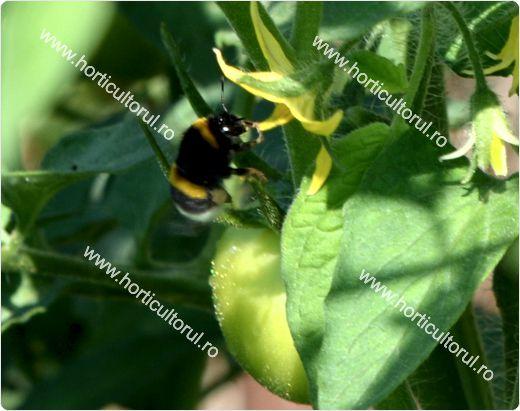 avortarea florilor la tomate