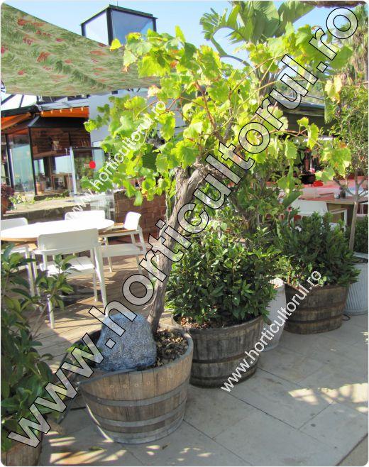 Cultivarea vitei de vie in ghivece pe terase & balcoane