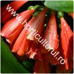 Clivia nobilis-Crinul tufa-1