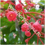 Copacul flacara_Brachychiton acerifolius