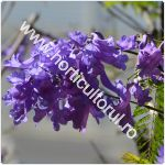 Copacul violet-Jacaranda mimosifolia_1