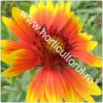 Gaillardia grandiflora_1