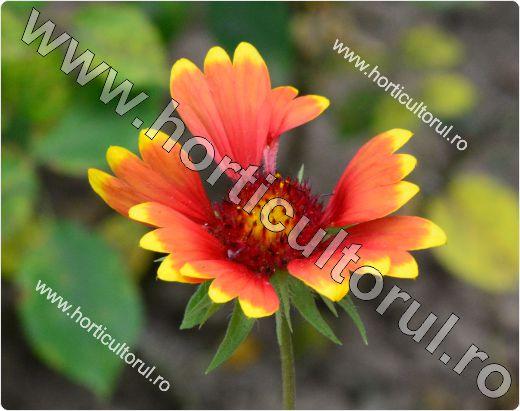 loarea roata de foc (Gaillardia grandiflora)