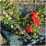 Mulcirea trandafirilor-cum se face