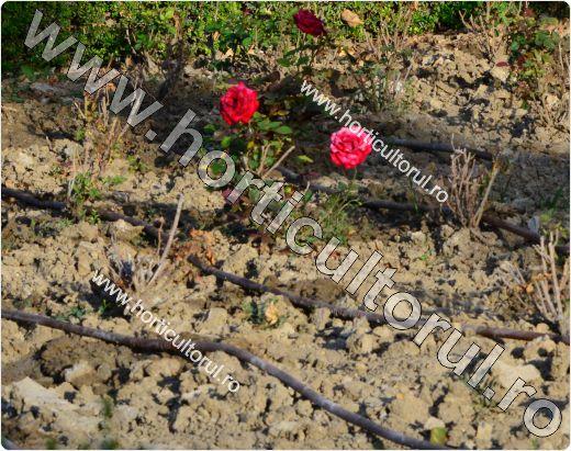Udarea Trandafirilor-gradina-ghivece