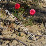Udarea Trandafirilor-gradina-ghivece-metode-1