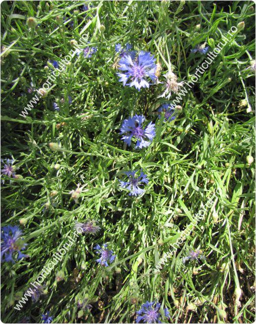 Fig. 1 Albastrele (Centaurea cyanus)
