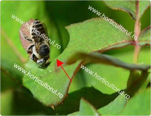 Albina croitoare a trandafirului
