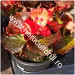 Begonia semperflorens_1