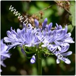 Crin african-Agapanthus