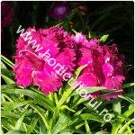 Dianthus -Pink Kisses_1