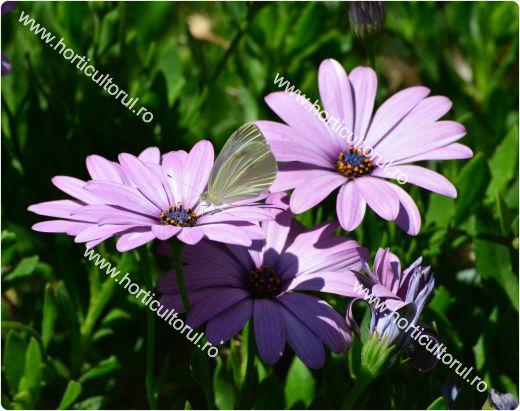 Dimorphotheca ecklonis_2