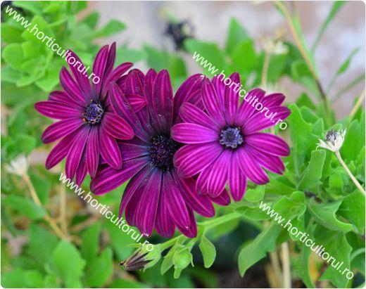 Dimorphotheca x hybrids_1