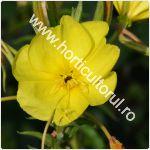 Luminita noptii-Ora 8-Oenothera biennis