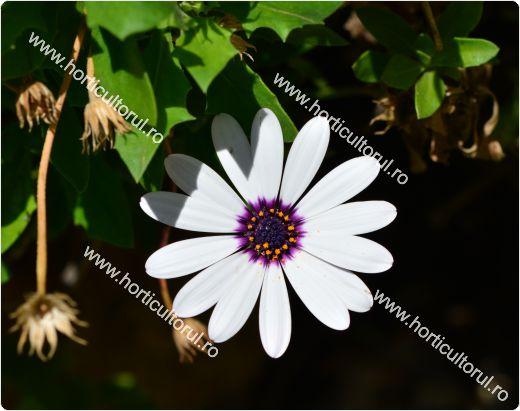 Margarete africane-Dimorphotheca pluvialis_1