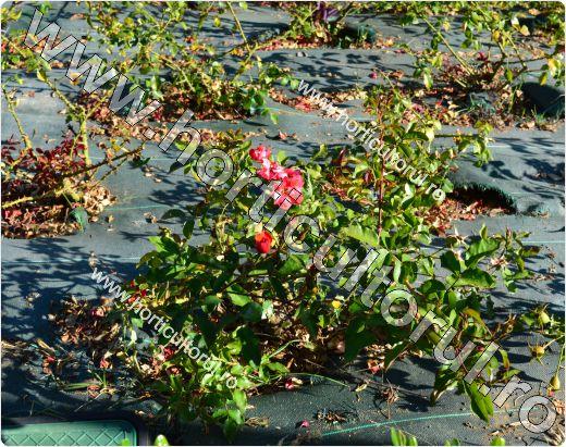 Mulcirea solului -agrotextil-in gradina-parcuri