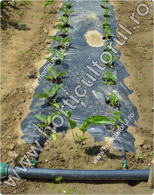Mulcirea solului cu folie neagra-gradina