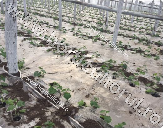 Mulcirea totala a solului cu folie transparenta-solar
