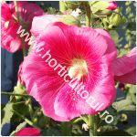 Nalba de gradina-Alcea rosea_1