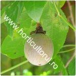 Passiflora edulis-1