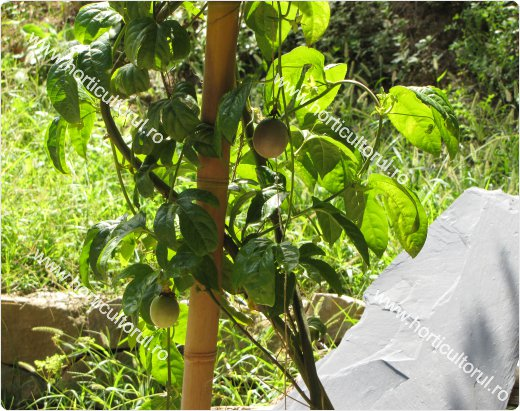 Passiflora edulis - Fructul pasiunii