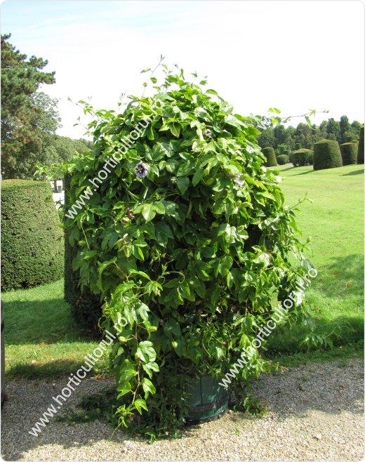 Passiflora edulis-ghiveci