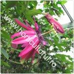 Passiflora pura-Floarea pasiunii-purpurie