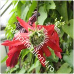 Passiflora racemosa-Floarea pasiunii rosie-150