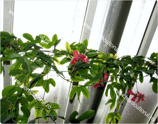 Floarea pasiunii rosie (Passiflora racemosa)