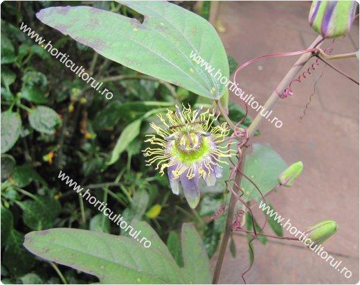 Passiflora standleyi Killip